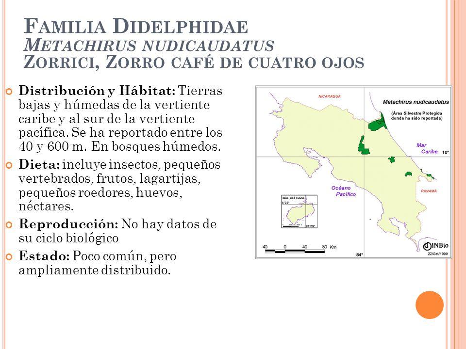 Familia Didelphidae Metachirus nudicaudatus Zorrici, Zorro café de cuatro ojos