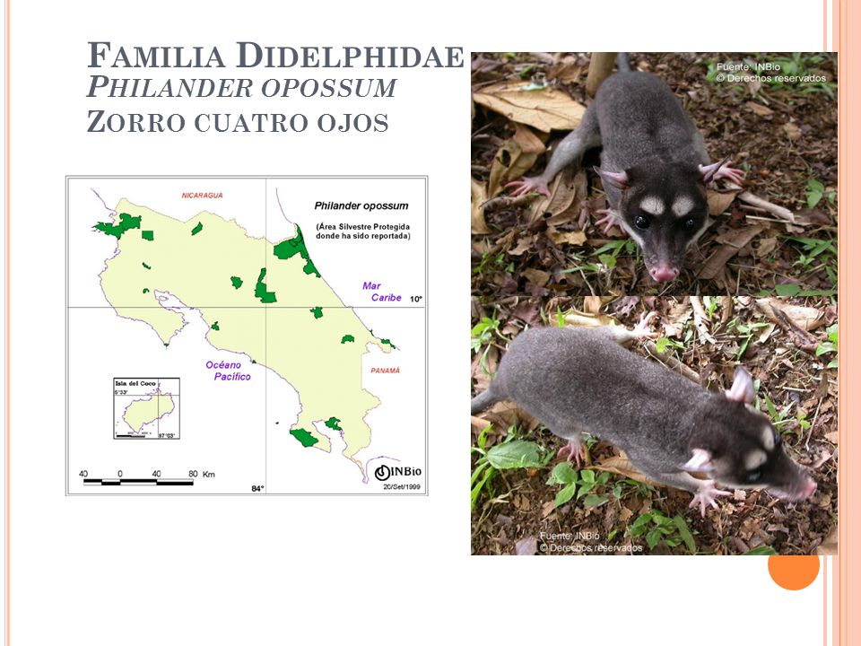 Familia Didelphidae Philander opossum Zorro cuatro ojos