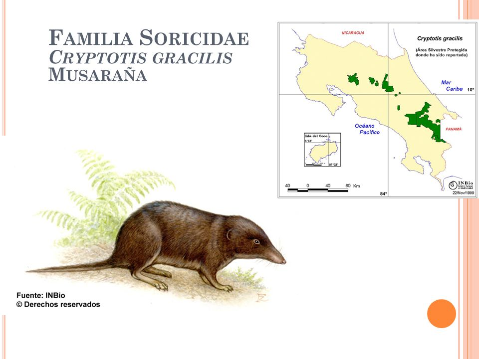 Familia Soricidae Cryptotis gracilis Musaraña