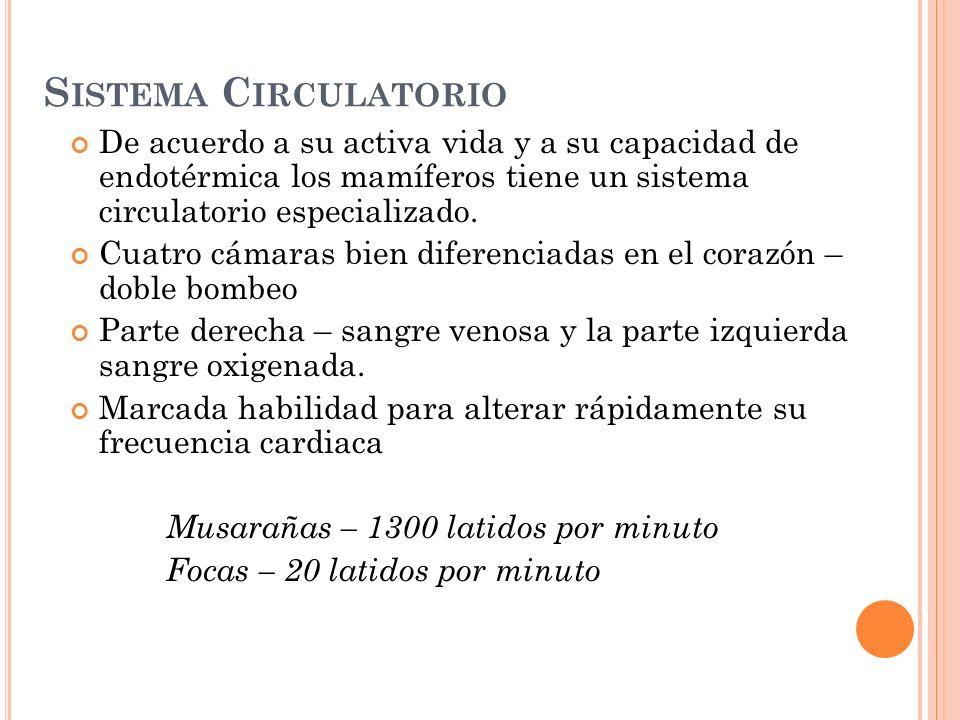 Sistema Circulatorio De acuerdo a su activa vida y a su capacidad de endotérmica los mamíferos tiene un sistema circulatorio especializado.