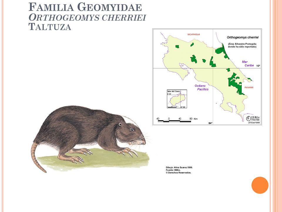 Familia Geomyidae Orthogeomys cherriei Taltuza