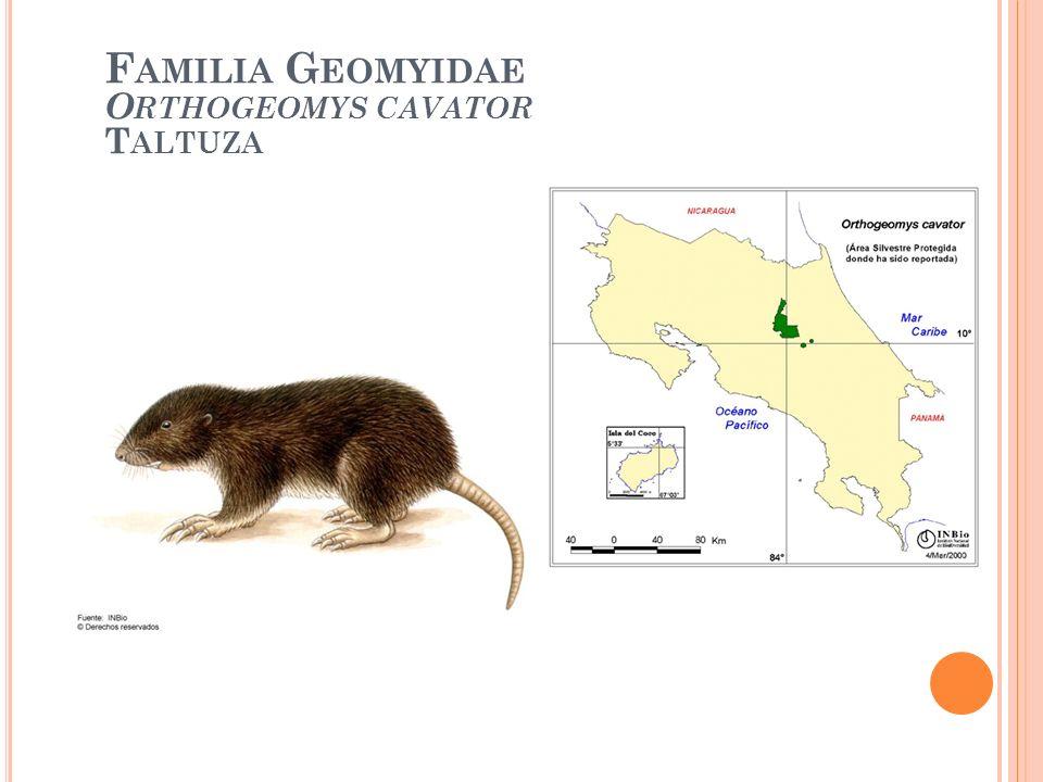 Familia Geomyidae Orthogeomys cavator Taltuza