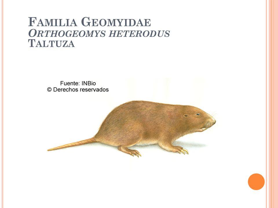 Familia Geomyidae Orthogeomys heterodus Taltuza