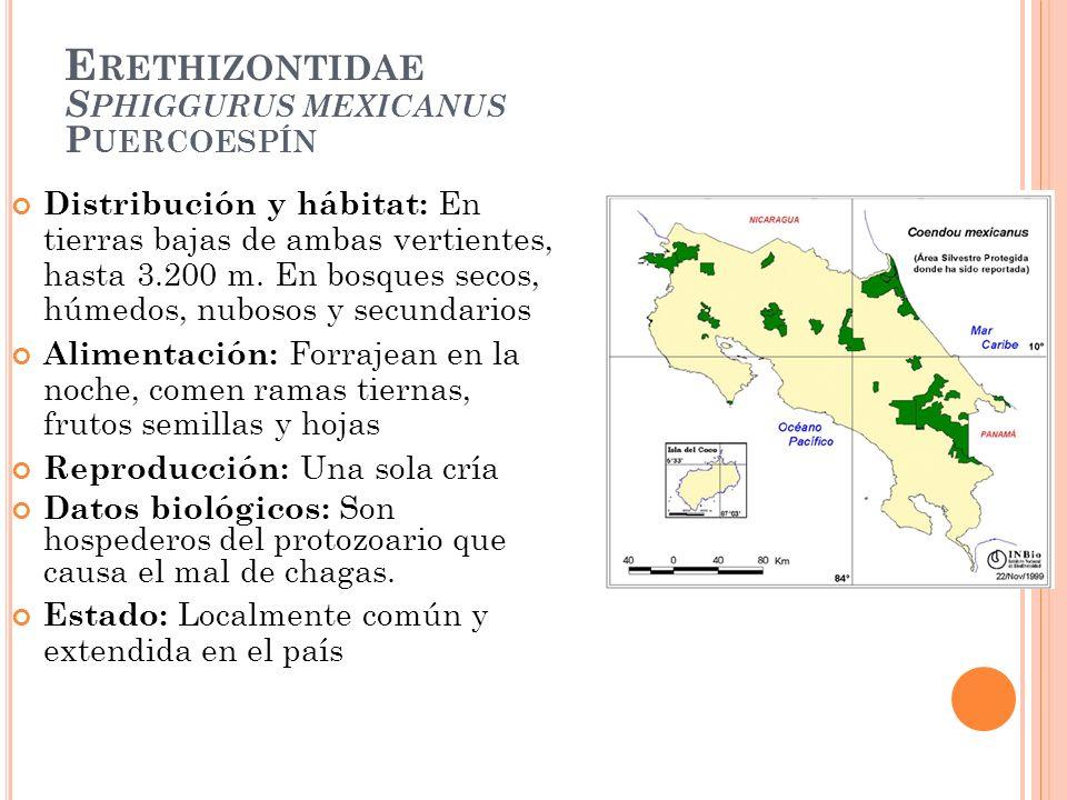 Erethizontidae Sphiggurus mexicanus Puercoespín