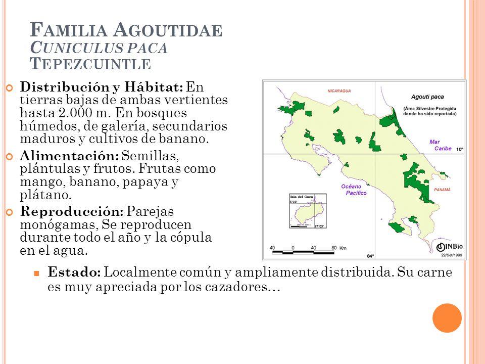 Familia Agoutidae Cuniculus paca Tepezcuintle