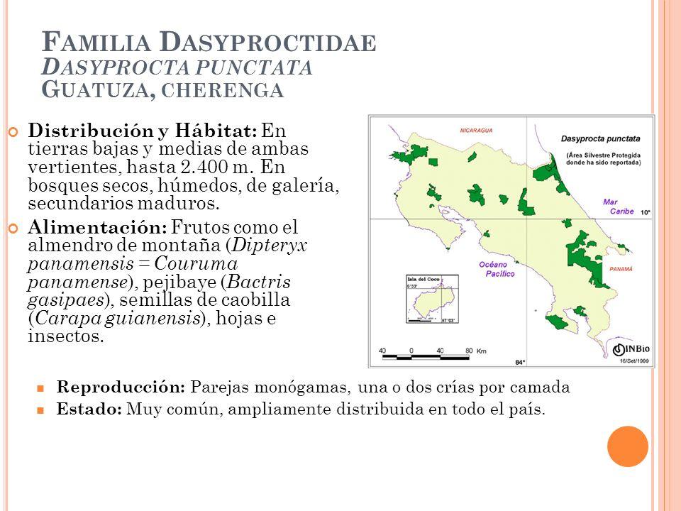 Familia Dasyproctidae Dasyprocta punctata Guatuza, cherenga