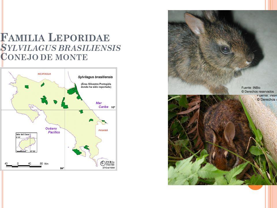Familia Leporidae Sylvilagus brasiliensis Conejo de monte