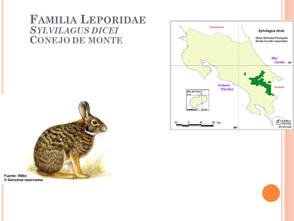 Familia Leporidae Sylvilagus dicei Conejo de monte