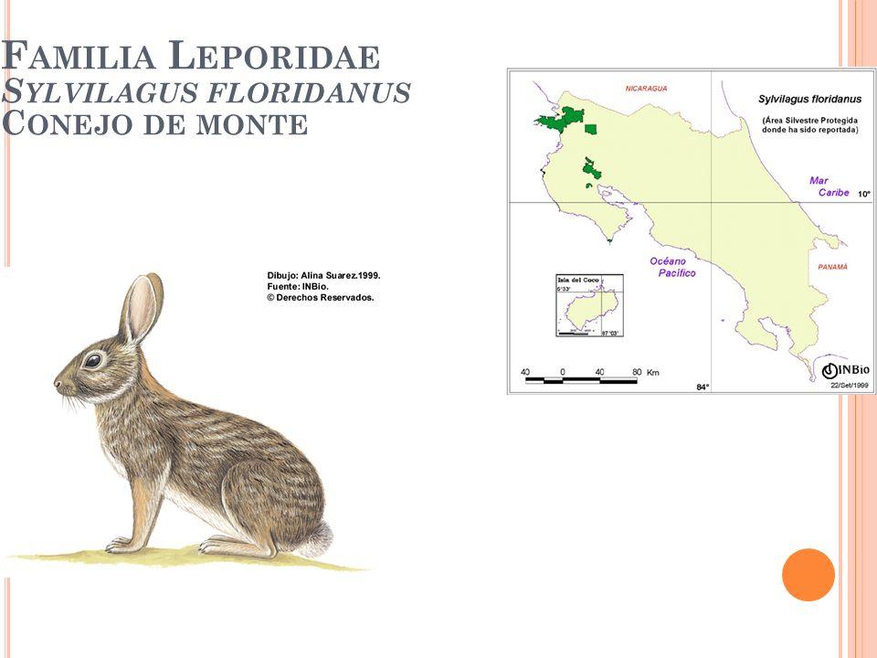 Familia Leporidae Sylvilagus floridanus Conejo de monte