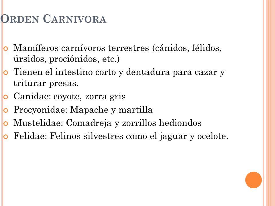 Orden Carnivora Mamíferos carnívoros terrestres (cánidos, félidos, úrsidos, prociónidos, etc.)