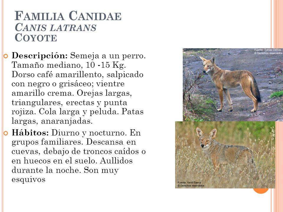 Familia Canidae Canis latrans Coyote