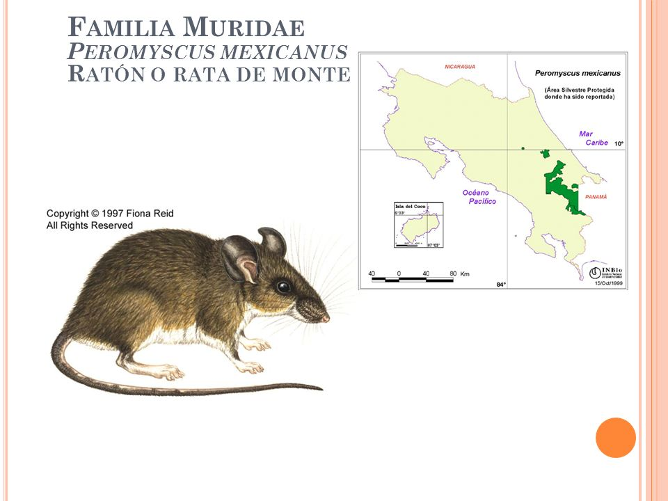 Familia Muridae Peromyscus mexicanus Ratón o rata de monte