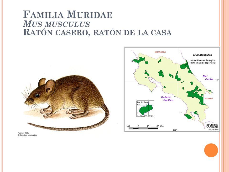 Familia Muridae Mus musculus Ratón casero, ratón de la casa