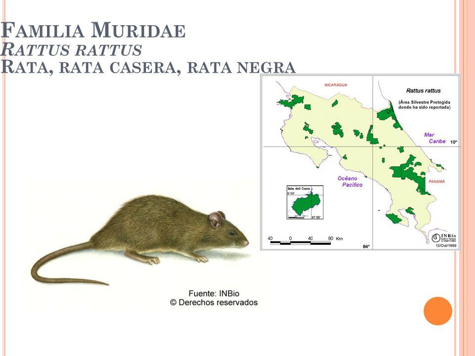 Familia Muridae Rattus rattus Rata, rata casera, rata negra
