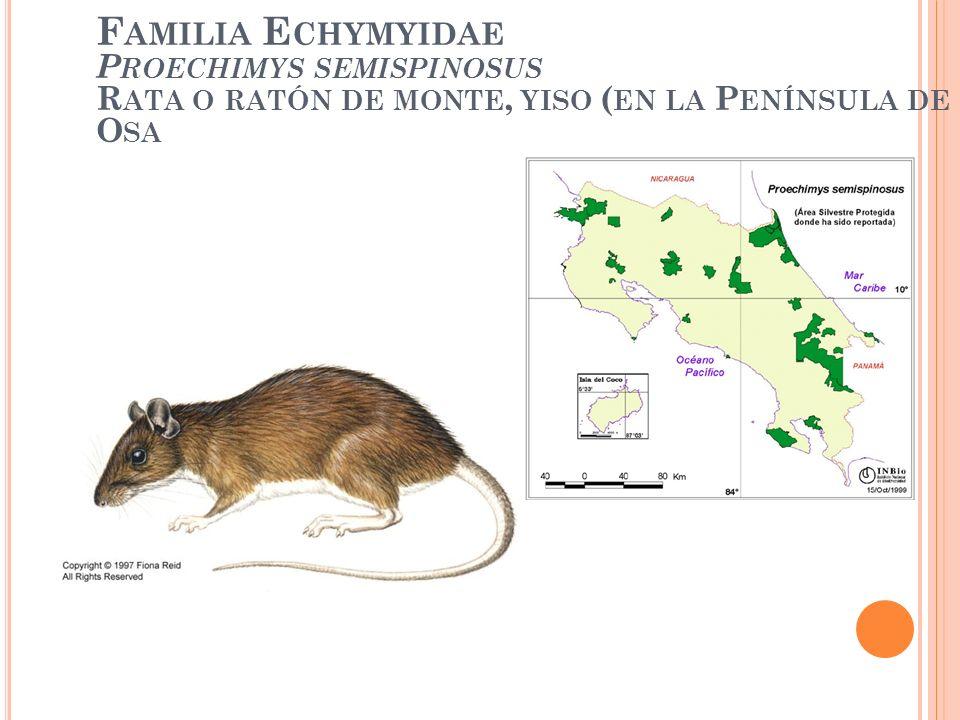 Familia Echymyidae Proechimys semispinosus Rata o ratón de monte, yiso (en la Península de Osa