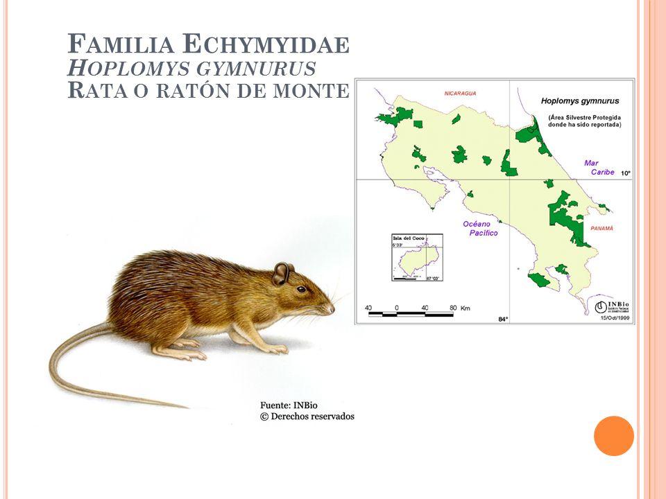 Familia Echymyidae Hoplomys gymnurus Rata o ratón de monte