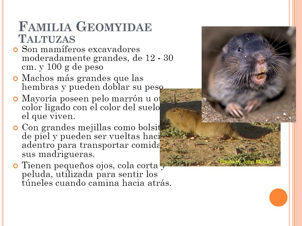Familia Geomyidae Taltuzas