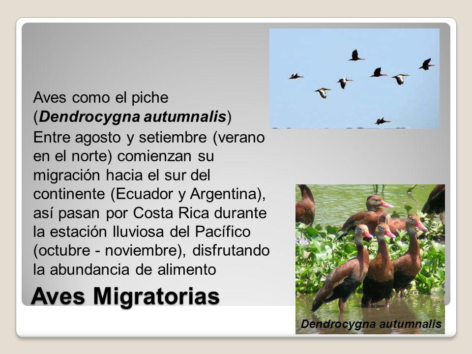Aves como el piche (Dendrocygna autumnalis) Entre agosto y setiembre (verano en el norte) comienzan su migración hacia el sur del continente (Ecuador y Argentina), así pasan por Costa Rica durante la estación lluviosa del Pacífico (octubre - noviembre), disfrutando la abundancia de alimento