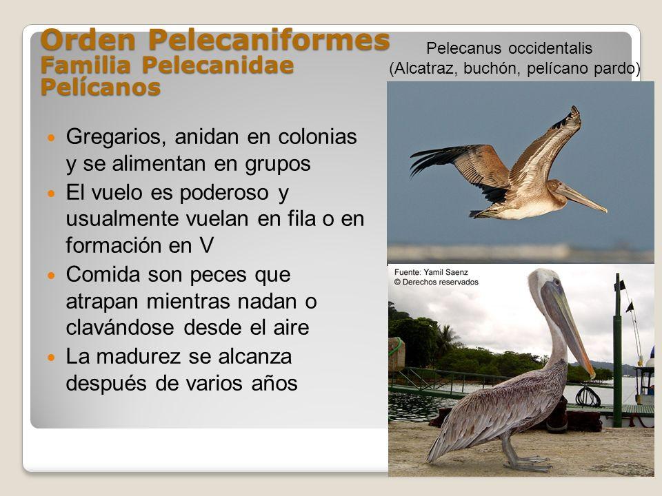 Orden Pelecaniformes Familia Pelecanidae Pelícanos
