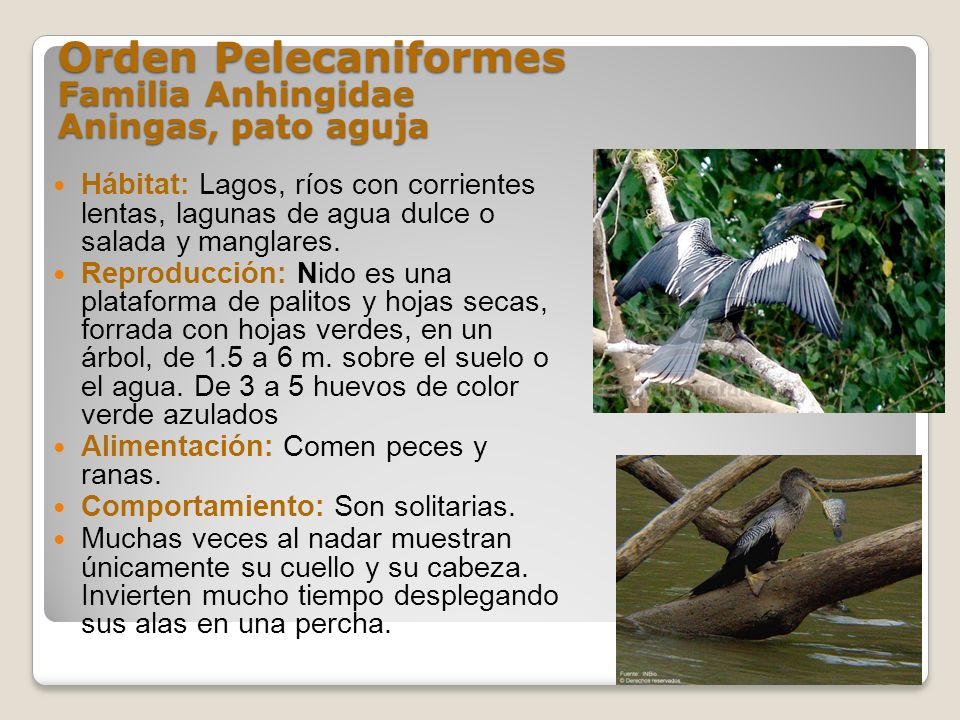 Orden Pelecaniformes Familia Anhingidae Aningas, pato aguja