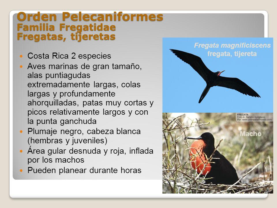 Orden Pelecaniformes Familia Fregatidae Fregatas, tijeretas