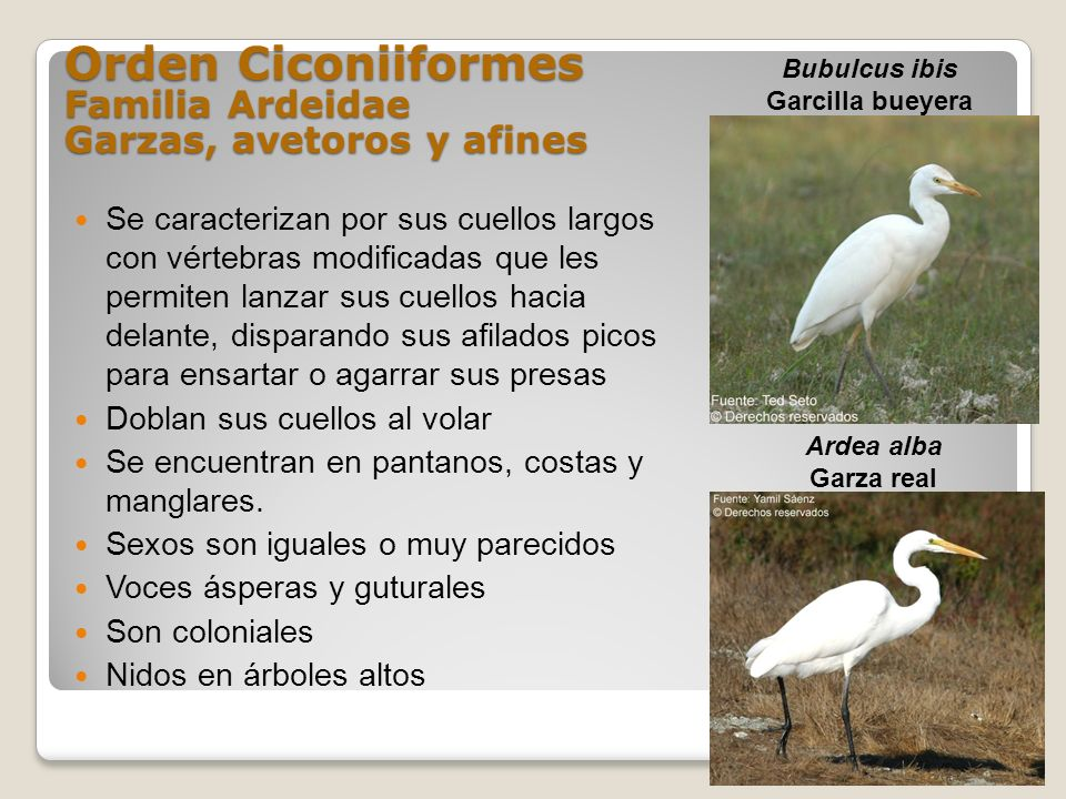 Orden Ciconiiformes Familia Ardeidae Garzas, avetoros y afines