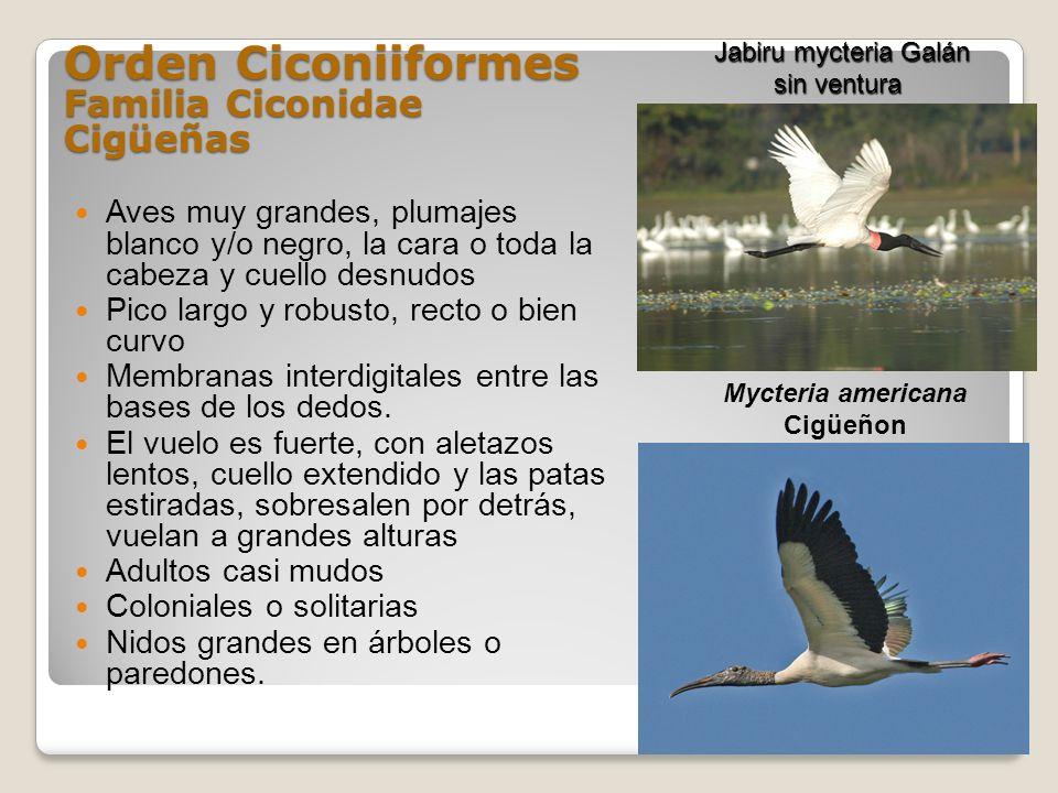 Orden Ciconiiformes Familia Ciconidae Cigüeñas