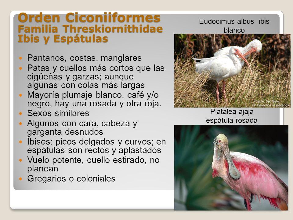 Orden Ciconiiformes Familia Threskiornithidae Ibis y Espátulas