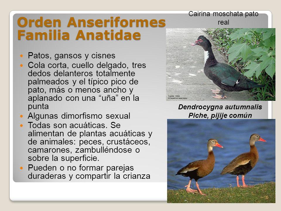 Orden Anseriformes Familia Anatidae