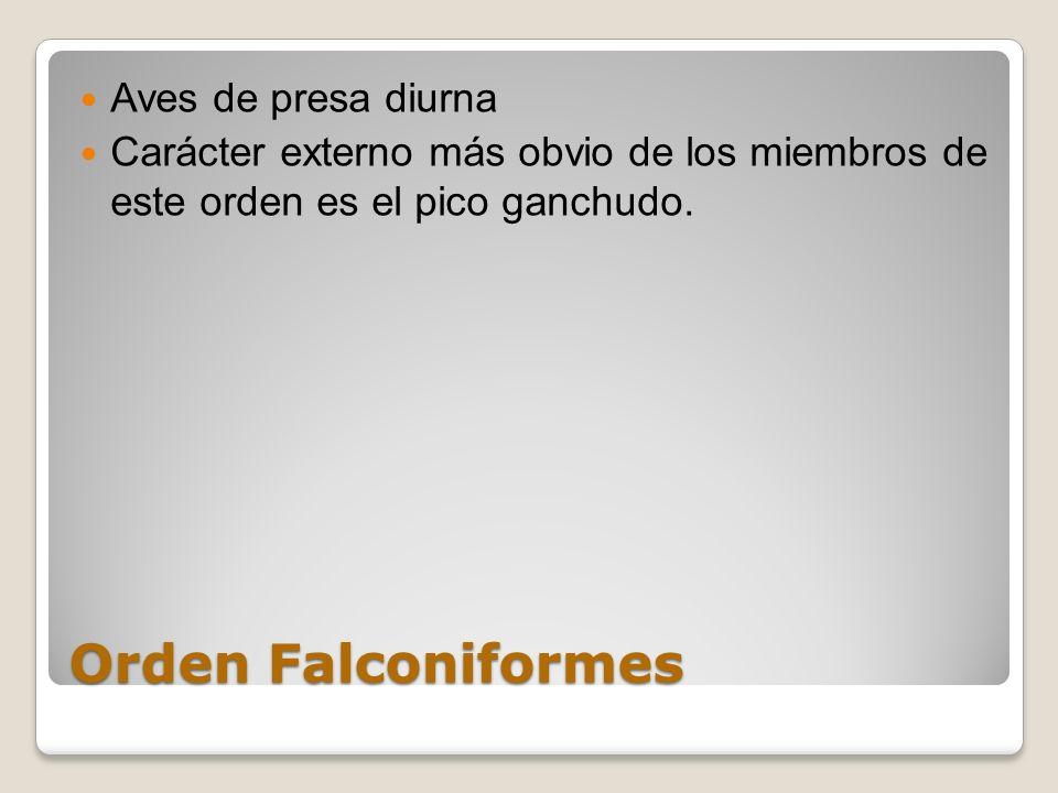 Orden Falconiformes Aves de presa diurna