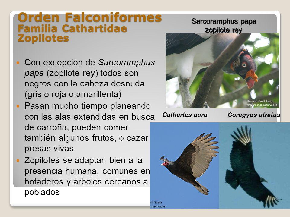 Orden Falconiformes Familia Cathartidae Zopilotes