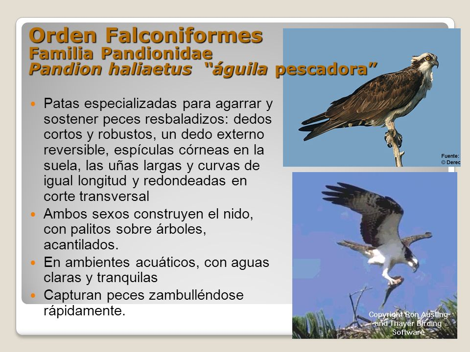 Orden Falconiformes Familia Pandionidae