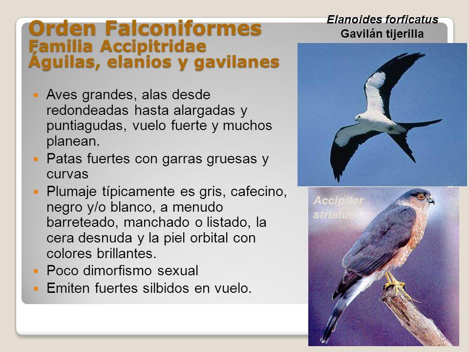 Orden Falconiformes Familia Accipitridae Águilas, elanios y gavilanes