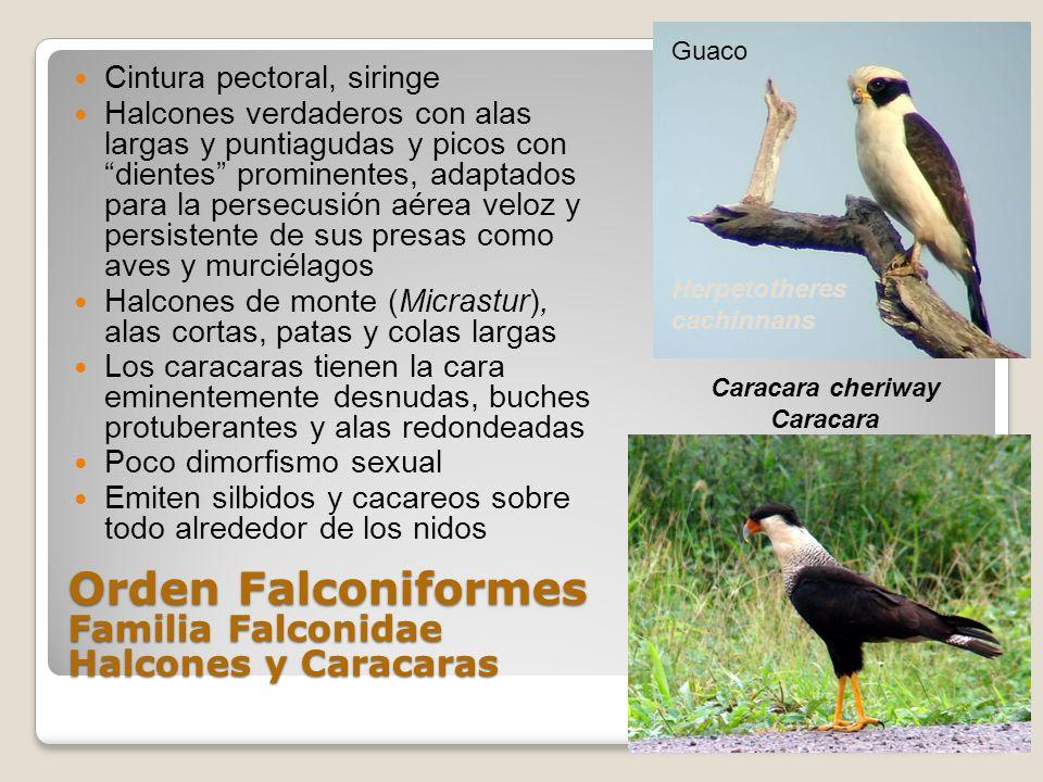 Orden Falconiformes Familia Falconidae Halcones y Caracaras
