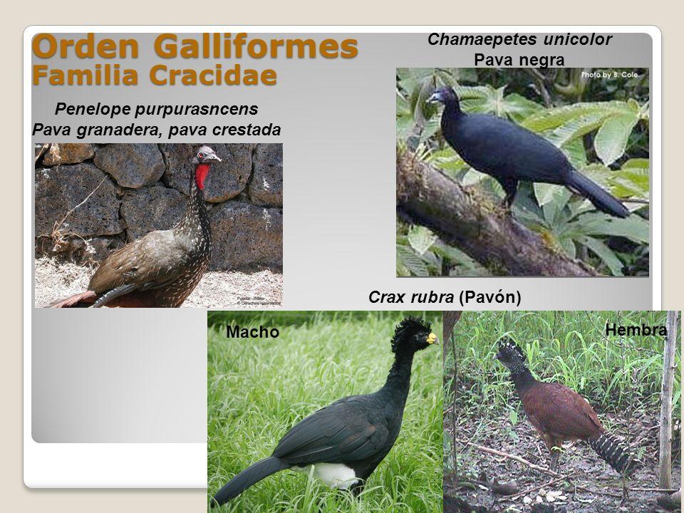Orden Galliformes Familia Cracidae