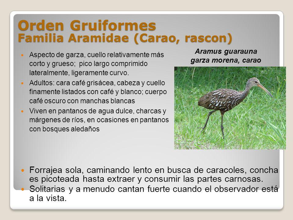 Orden Gruiformes Familia Aramidae (Carao, rascon)