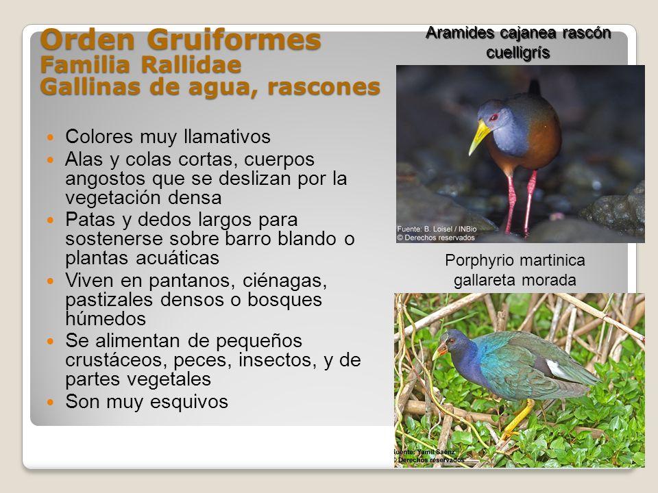 Orden Gruiformes Familia Rallidae Gallinas de agua, rascones
