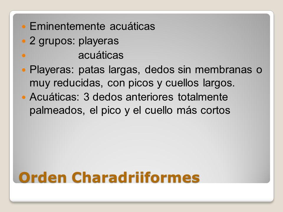 Orden Charadriiformes