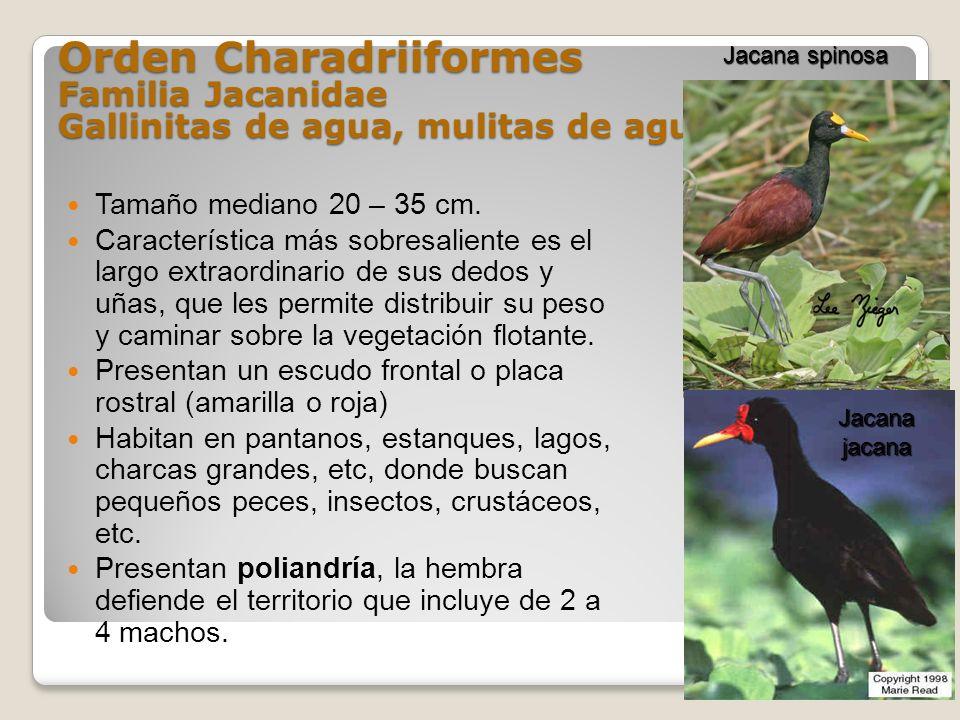 Orden Charadriiformes Familia Jacanidae Gallinitas de agua, mulitas de agua