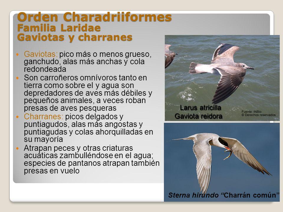 Orden Charadriiformes Familia Laridae Gaviotas y charranes