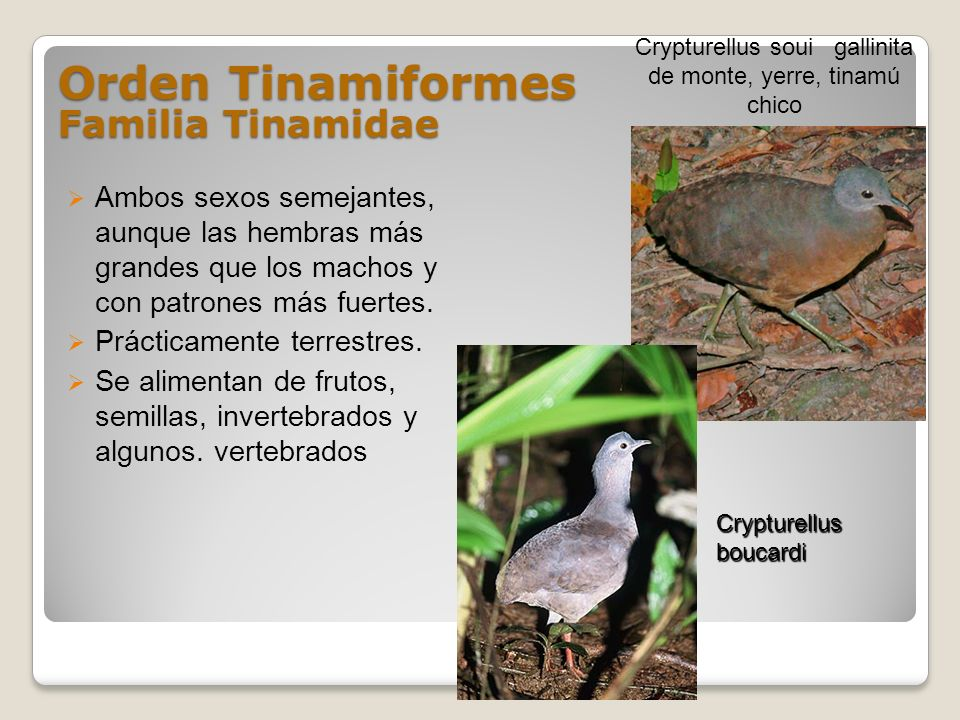 Orden Tinamiformes Familia Tinamidae