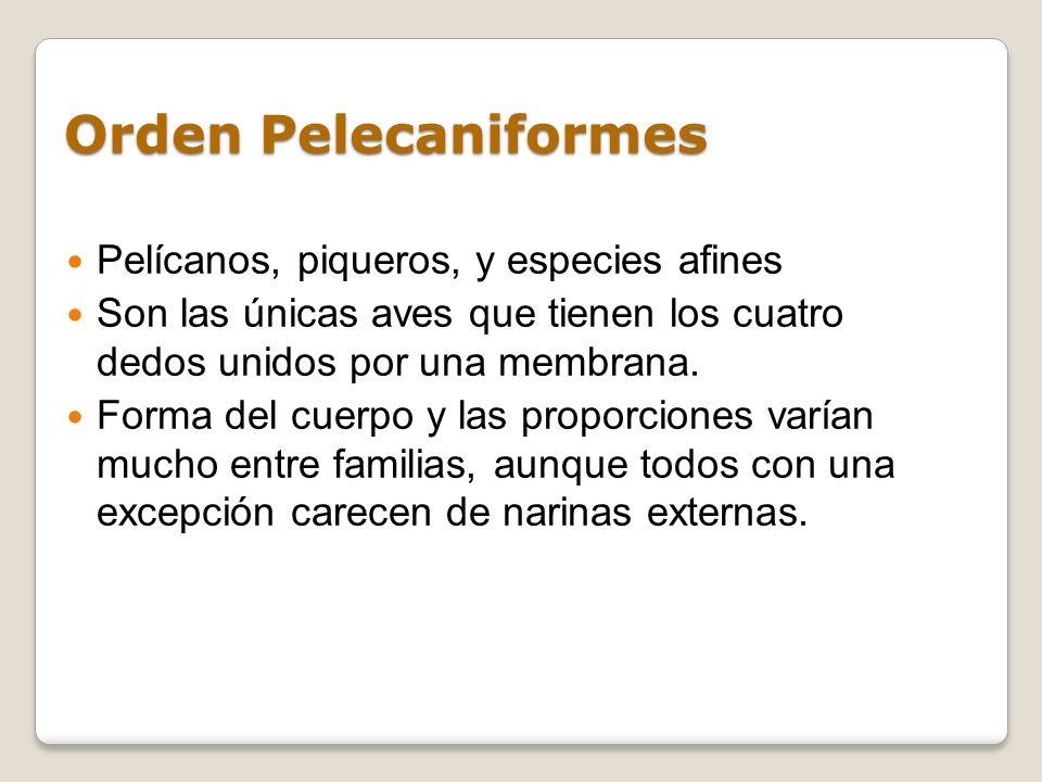 Orden Pelecaniformes Pelícanos, piqueros, y especies afines