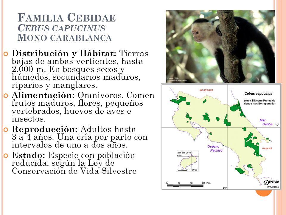 Familia Cebidae Cebus capucinus Mono carablanca