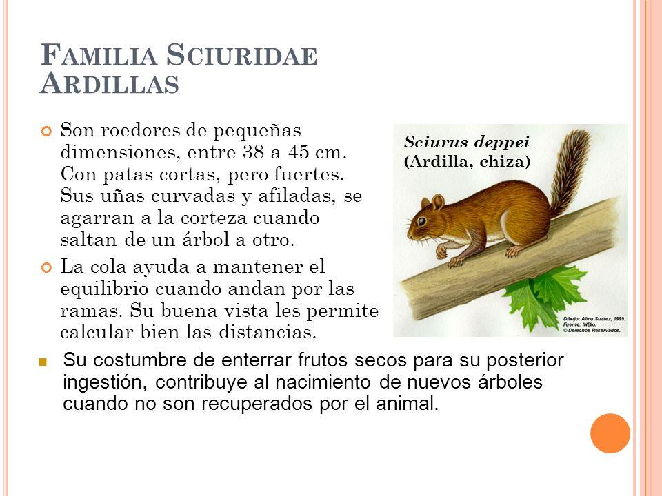 Familia Sciuridae Ardillas