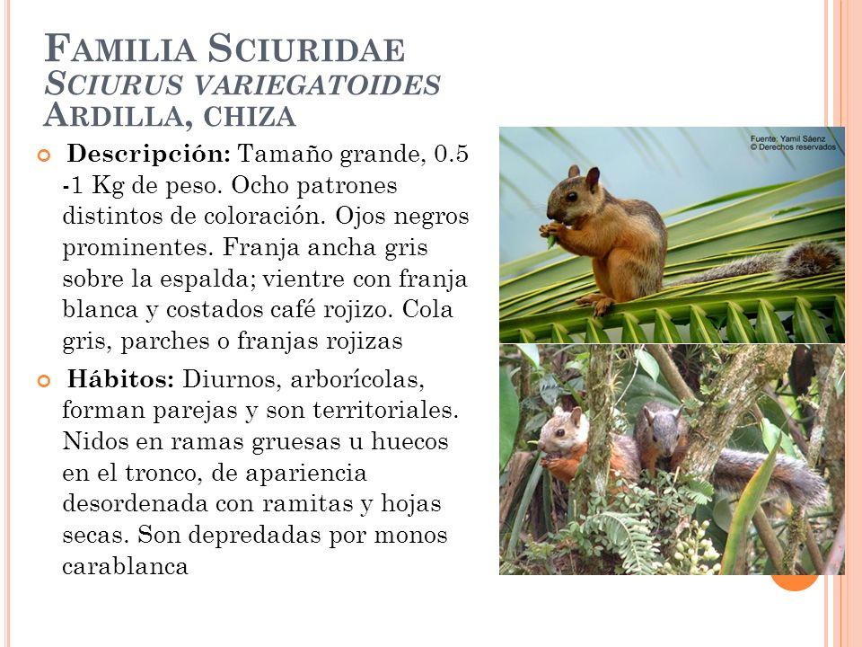 Familia Sciuridae Sciurus variegatoides Ardilla, chiza