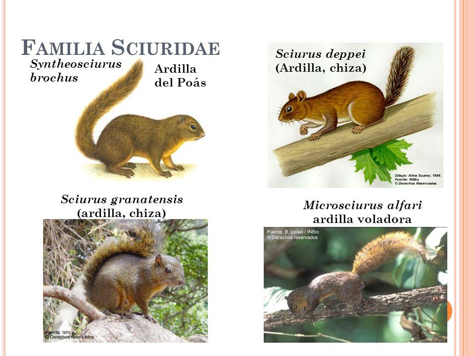 Familia Sciuridae Sciurus deppei (Ardilla, chiza)