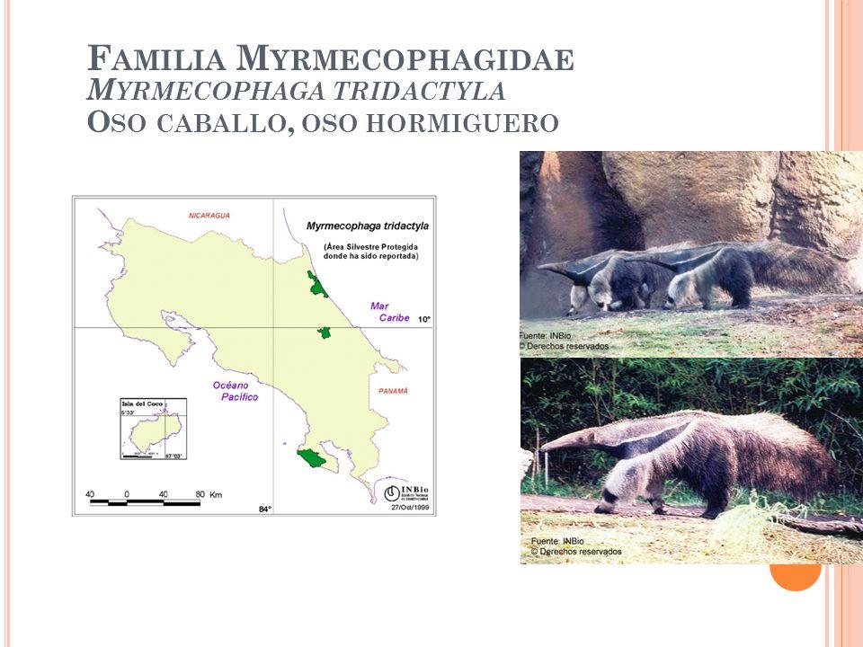 Familia Myrmecophagidae Myrmecophaga tridactyla Oso caballo, oso hormiguero