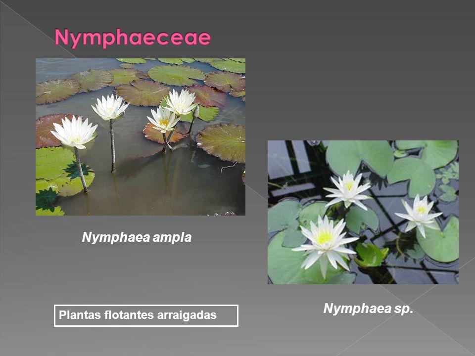 Nymphaeceae Nymphaea ampla Nymphaea sp. Plantas flotantes arraigadas