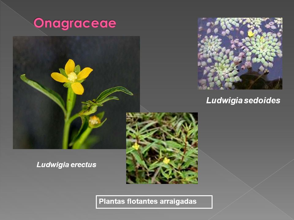 Onagraceae Ludwigia sedoides Ludwigia erectus