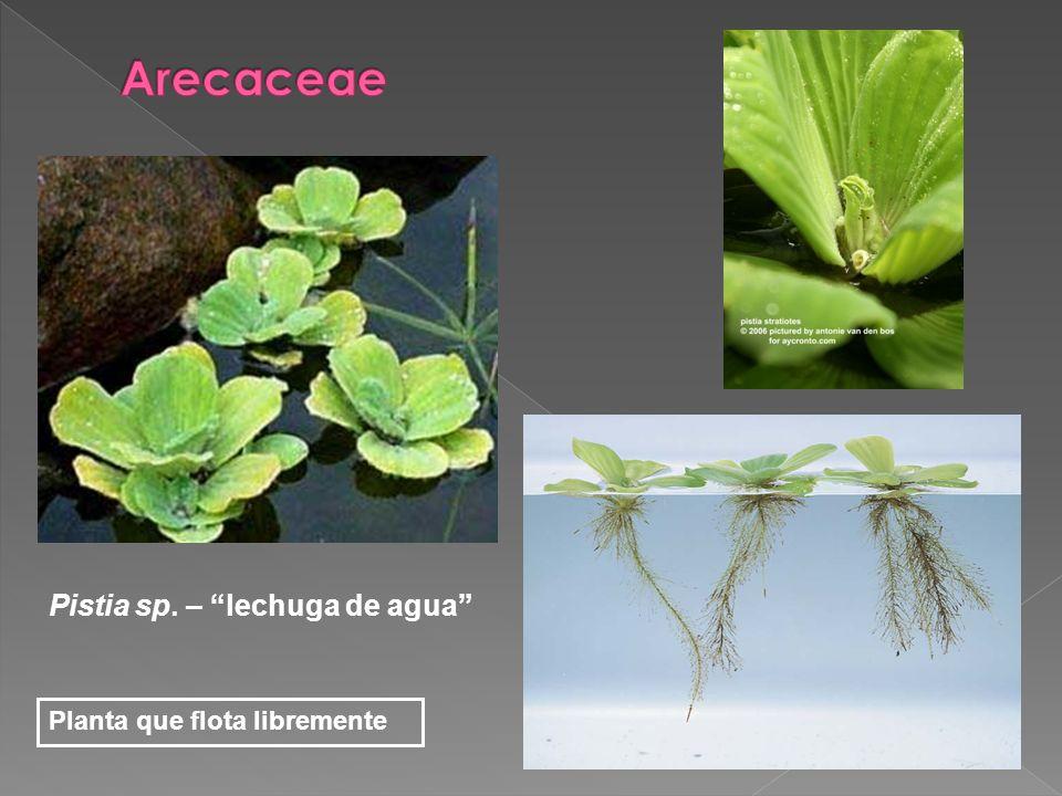 Arecaceae Pistia sp. – lechuga de agua Planta que flota libremente